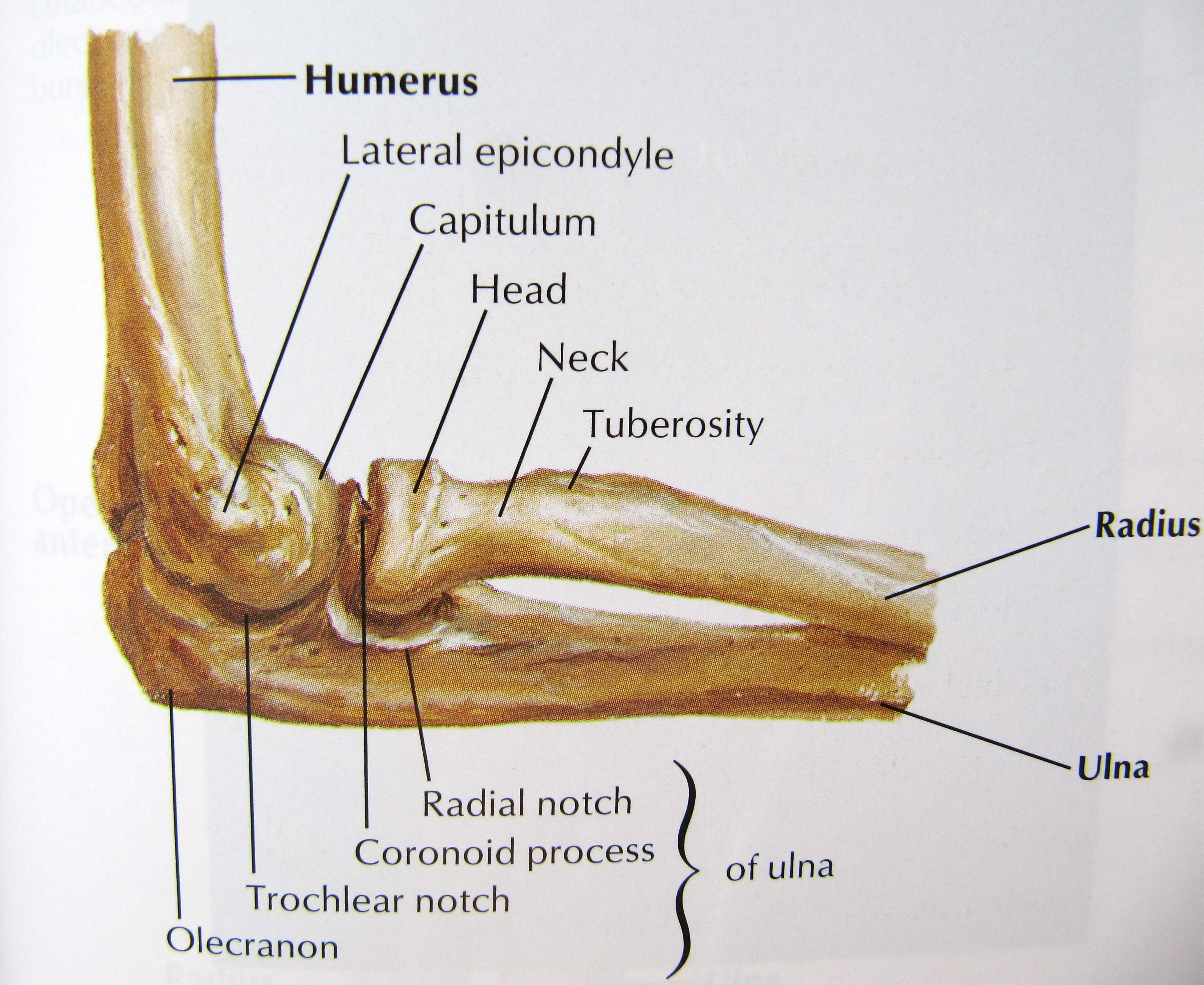 Eli carmeli physical therapy - Radial Head Fracture And Physical Therapy Image Results The Radial Head Is The Knobby End Of The Radius Where It Meets The Elbow
